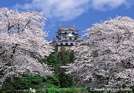 国宝・名城と桜の共演
