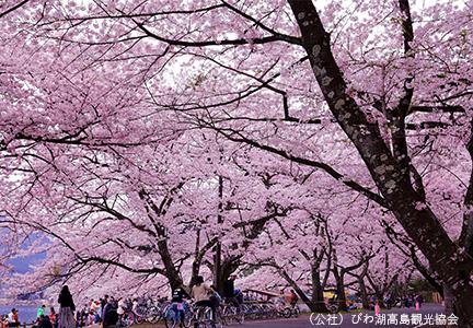 绵延4公里的樱树林荫道