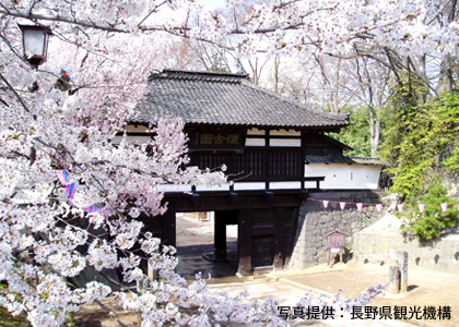 The Cherry Blossoms of Kaikoen