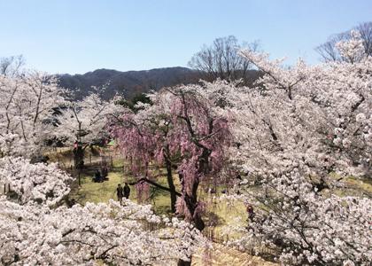 500本の桜