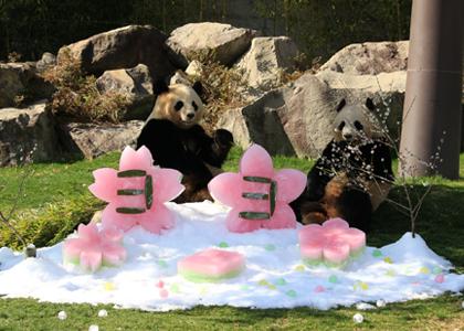 팬더의 히나마츠리