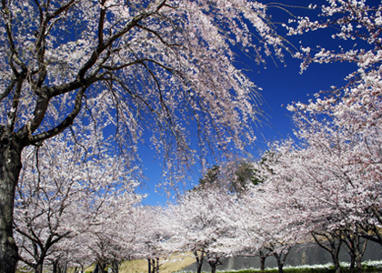 Quick Access to Cherry Blossoms
