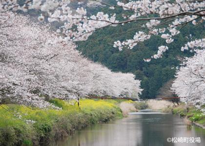 约6km的行道樱花树