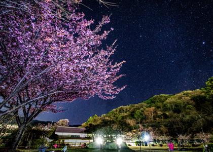 일본에서 가장 먼저 피는 벚꽃